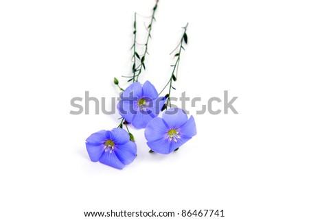 Linum usitatissimum beautiful blue flowers on white - stock photo