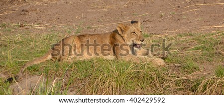 Lion cub is one of the four big cats in the genus Panthera, and a member of the family Felidae. With some males exceeding 250 kg (550 lb) in weight it is the second-largest living cat after the tiger - stock photo