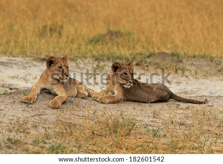 2 Lion cubs laying on the plains of Hwange national park - descendants of the iconic Cecil killed in July 2015