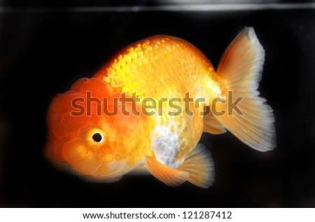 Lion Head Goldfish isolated on black background - stock photo