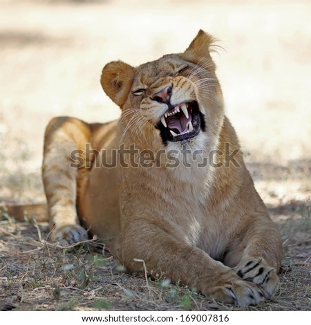 lioness resting in the grass - stock photo