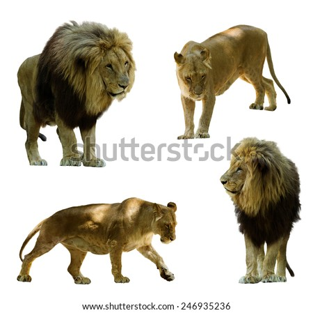 lions. Isolated on white background  - stock photo