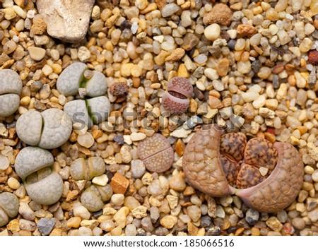 Lithops (Living stone), Cactus  - stock photo