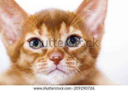 little Abyssinian kitten. close up - stock photo