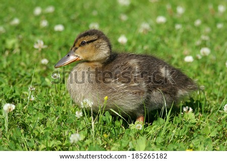 Little furry duck is walking on the green grass around the white flowers