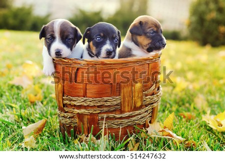 Little puppies of a jack russell on green grass with autumn leaves