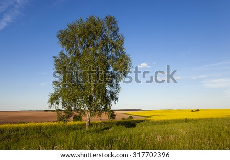lonely birch in a field in which rape blossoms. In the background, a plowed field. The Summer.