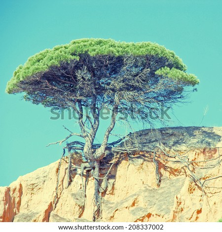 Lonely pine tree on the sand cliff , Algarve, Portugal. instagram effect, square image  - stock photo