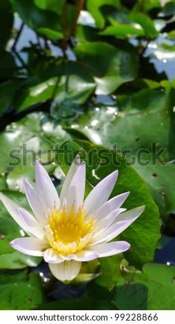 Lotus Flower, close-up - stock photo