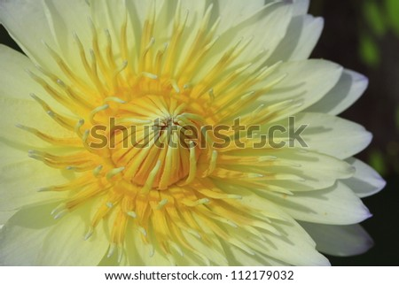 Lotus Flower close-up top view - stock photo