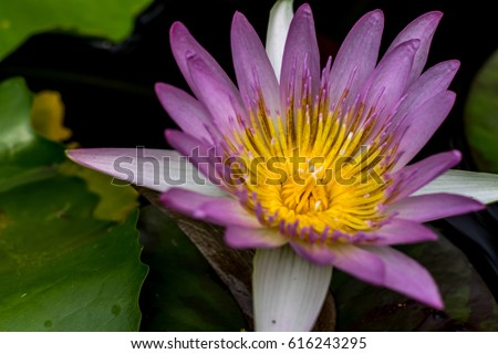 Lotus flower meanings on pinterest thailand stock photo 100 legal lotus flower meanings on pinterest thailand travel the lotus flower represents one symbol of fortune in mightylinksfo