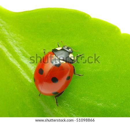 Macro of a ladybird - stock photo