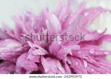 macro water drop on pink purple flower  ,chrysanthemum flower - stock photo