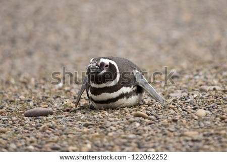 magellanic penguin laying on the stones in punta tombo, patagonia, argentina