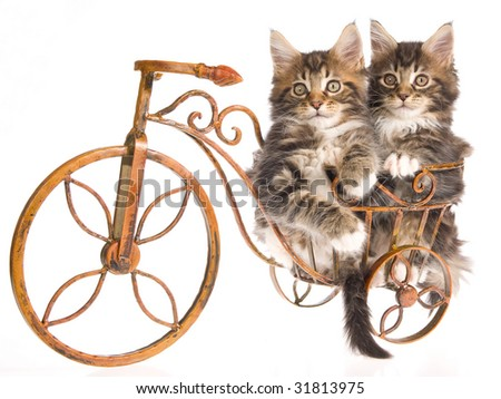 2 Maine Coon kittens sitting inside miniature brown bicycle, on white background - stock photo