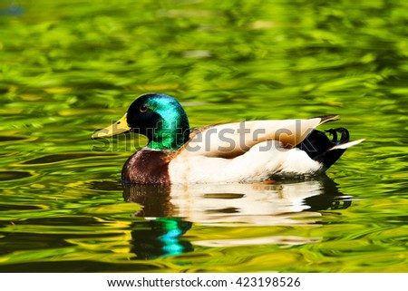 Mallard duck  male  -  close-up of a mallard duck on the water - stock photo