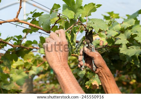 Man pruning the grapevine inside vineyard. - stock photo