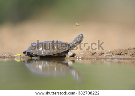 Marsh Terrapin at a waterhole in the African Bushveld.  - stock photo