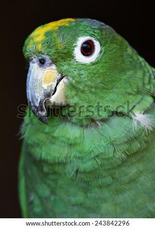 mealy amazon   female (Amazona farinosa farinosa) - stock photo