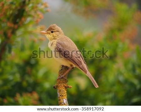 Melodious Warbler Hippolais polyglotta - stock photo