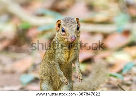 Menetes berdmorei (Indochinese ground squirrel, Berdmore's ground squirrel , Burmese Striped Squirrel , Tamiops mcclellandii)  in Doi Inthanon Natural Park, Chiangmai ,Thailand,selective focus - stock photo