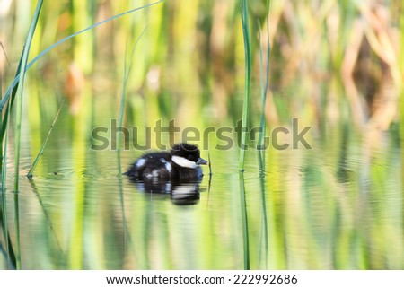 Mergus albellus, Mergellus albellus, Smew.  The photo was taken in the Kandalaksha Gulf of the White Sea. - stock photo