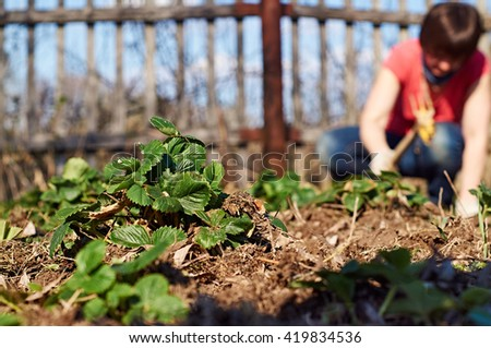 Middle-aged woman weeding the strawberry beds