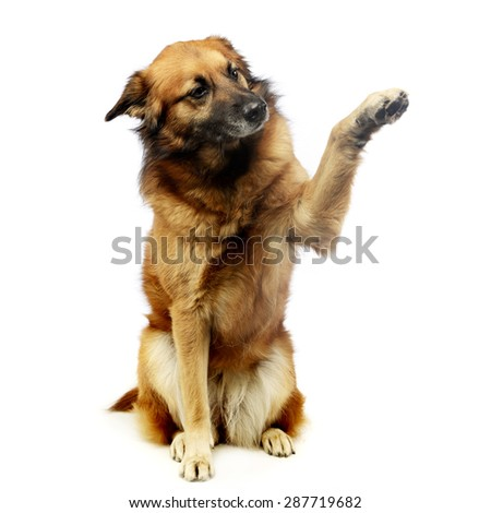 mixed breed dog in studio gives you five - stock photo
