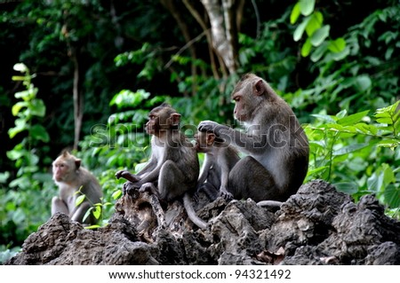 Monkeys checking for fleas and ticks in the family. - stock photo