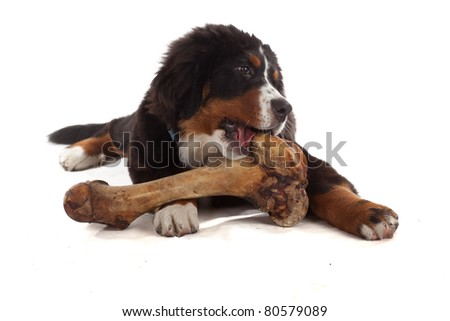 5 month old bernese mountain dog eating huge bone in studio on white isolated - stock photo