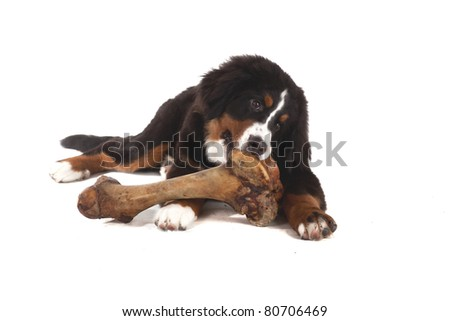 5 month old bernese mountain dog eating huge bone in studio on white isolated