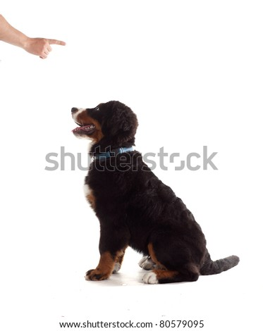 5 month old bernese mountain dog is taught obedience, on white isolated - stock photo