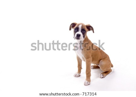 3 month old Boxer puppy in perfect pose! - stock photo