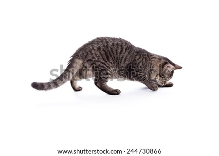10 month old tabby cat pouncing and playing isolated on a white background - stock photo