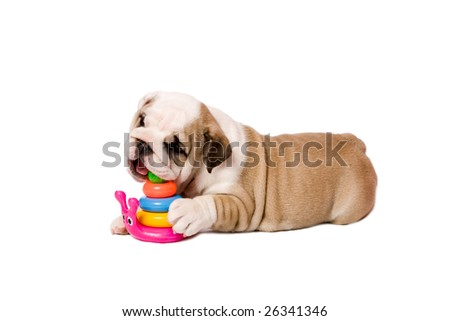 2 month playing puppy english bulldog isolated on white - stock photo