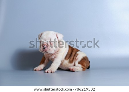 2 month purebred English Bulldog puppy on gray screen