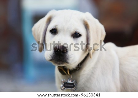 3 months old white cute labrador puppy - stock photo