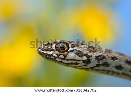 Montpellier snake (Malpolon monspessulanus) Young specimen portrait - stock photo