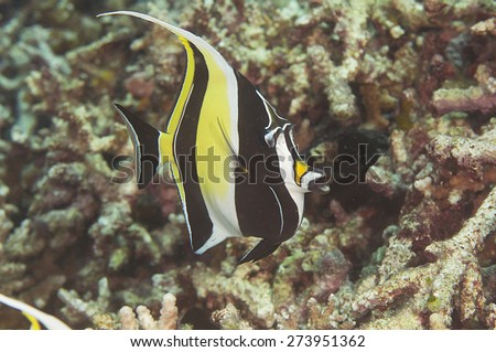 Zanclus cornutus stock photos images pictures for Oily fish representative species