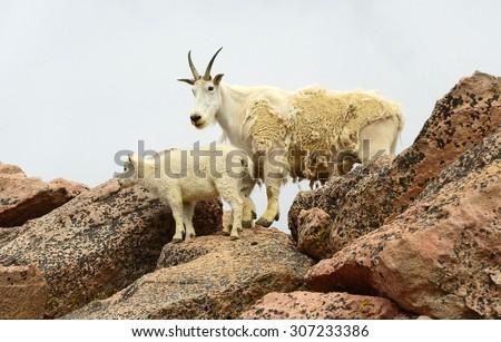 mountain goat on mount evans, colorado - stock photo