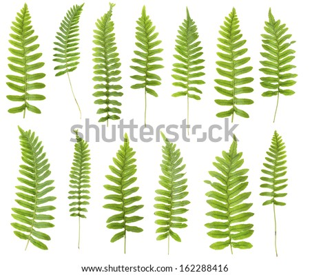 147 Mpx set.  Close up 13 frond leaf fern isolated on white background in macro lens shooting. - stock photo