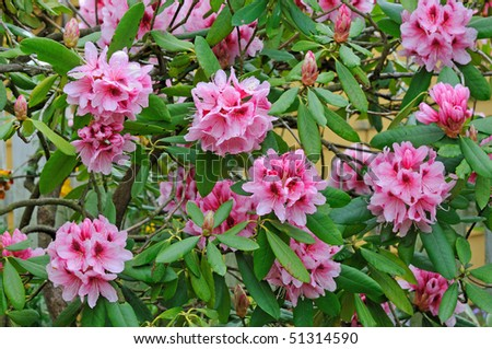 """Mrs G.W. Leak"" Speckled Throat (Rhododendron) - Ericaceae - stock photo"