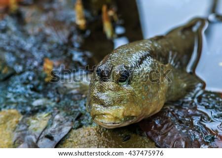 Mudskipper, Amphibious fish  - stock photo