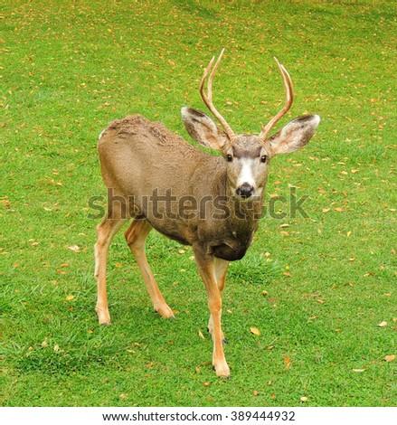 mule deer buck in capitol reef  national park, utah      - stock photo