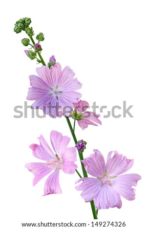 Musk Mallow Malva moschata flower branch  isolated on white - stock photo