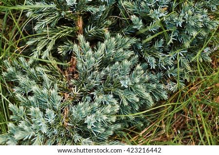 needles Christmas trees juniper and grass - stock photo