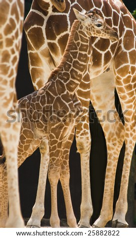 New born baby giraffe standing between the long legs of his family - stock photo