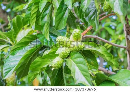 Noni,Beach mulberry, Close up of Noni fruit and leaf on the tree - stock photo