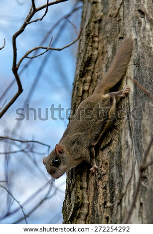 Northern flying squirrels (Glaucomys sabrinus) on a tree trunk - stock photo