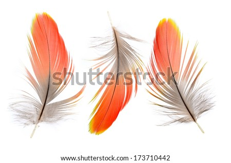 3 of Real MACAW bird Feathers. Natural colors: Red, Grey. Isolated on white background.  - stock photo
